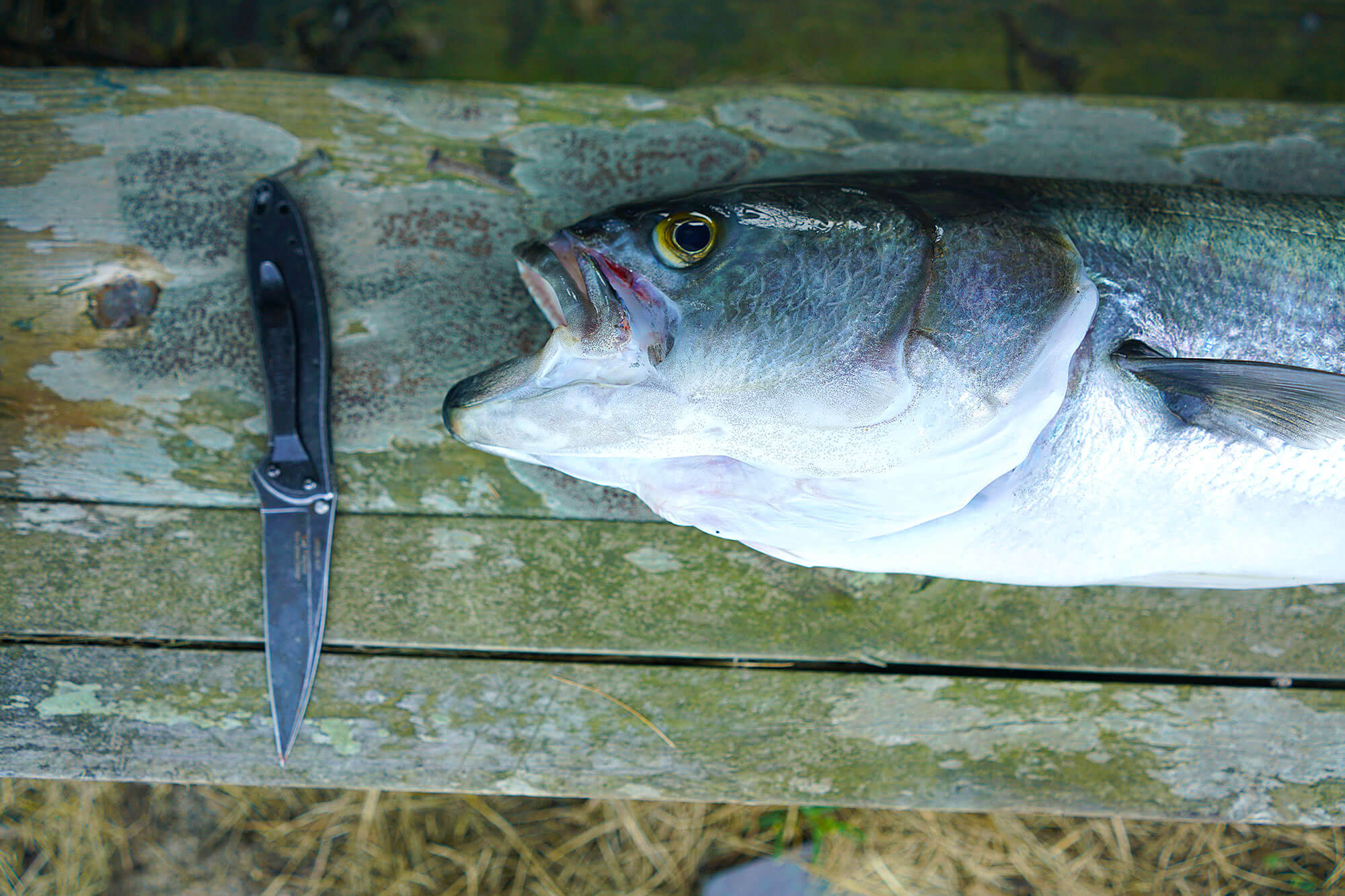 Bluefish caught on Moriches Bay