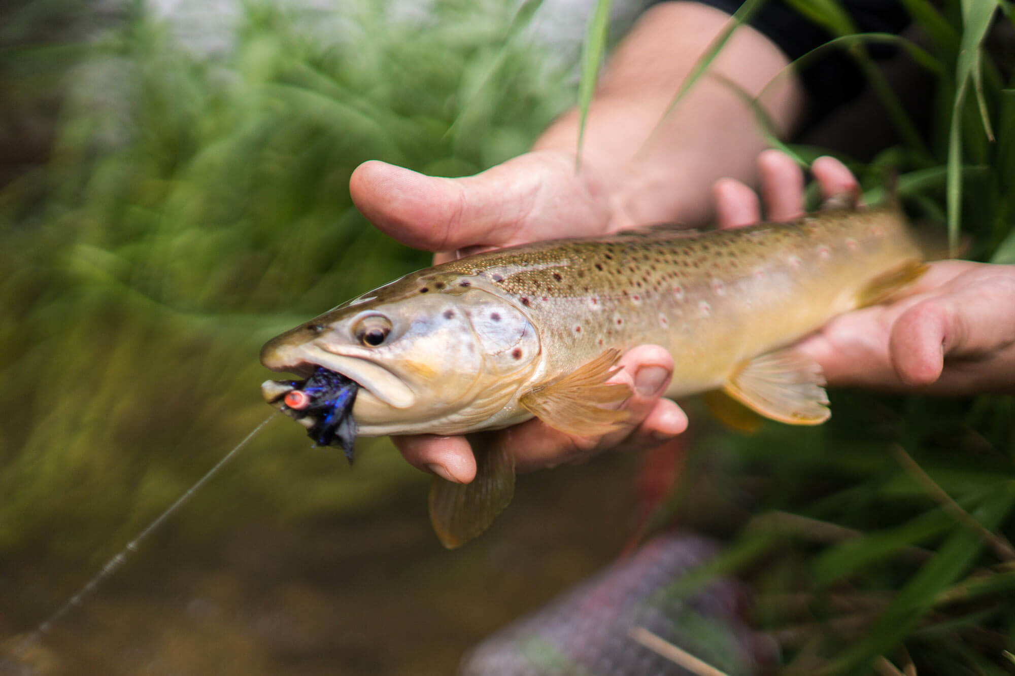 Fly fishing the driftless area around viroqua wisconsin for Trout fishing wisconsin