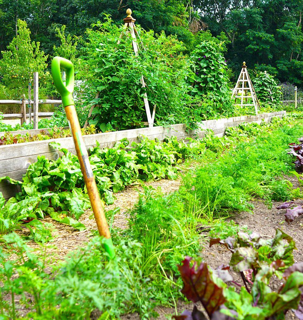 Digging Carrots in Estia's Little Kitchen Garden | August 2017