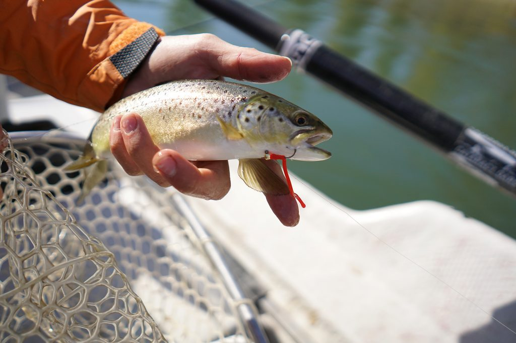 Brown trout on the wiggly worm