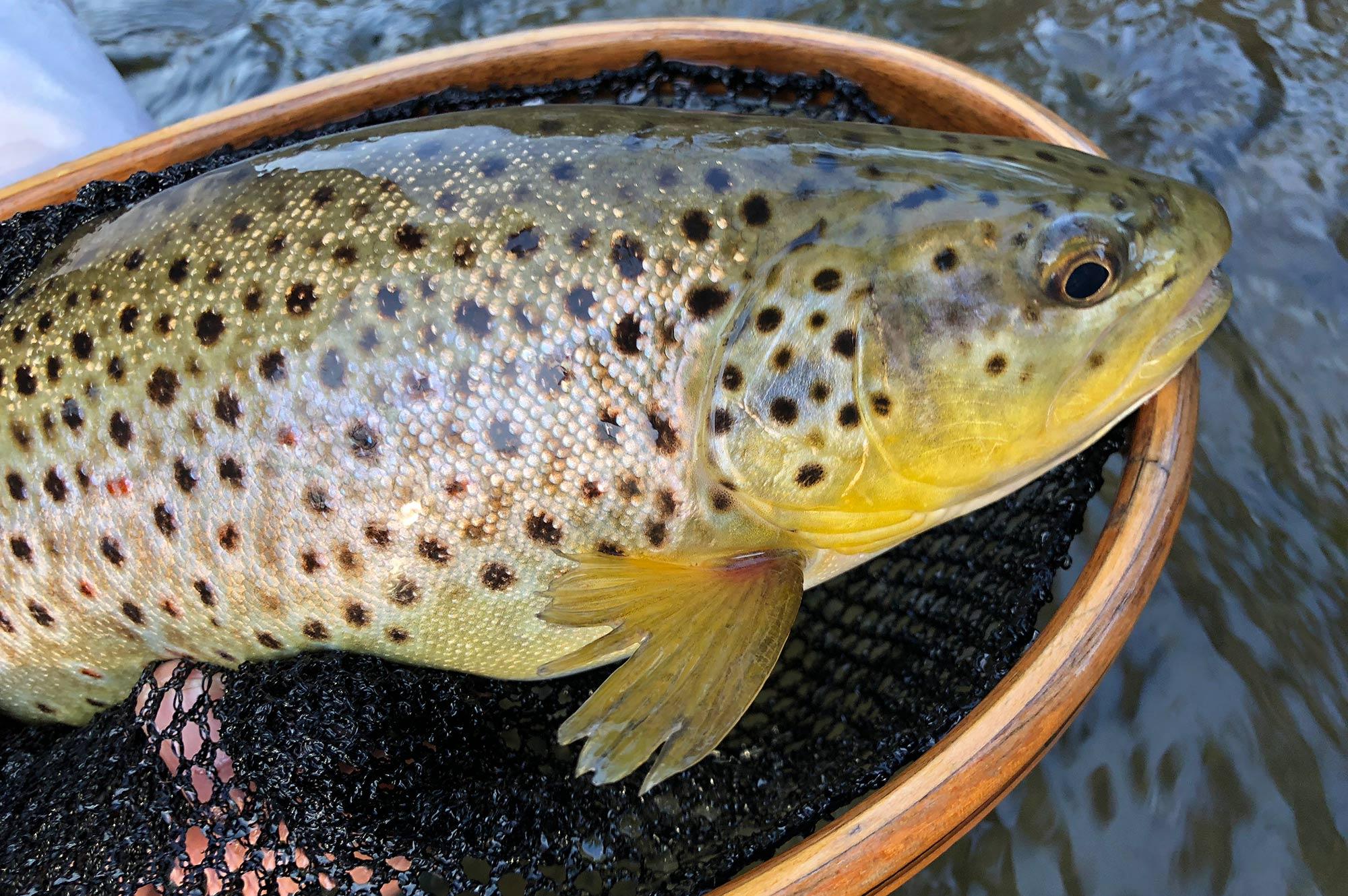 A beautiful, heavy roundnosed female brown trout