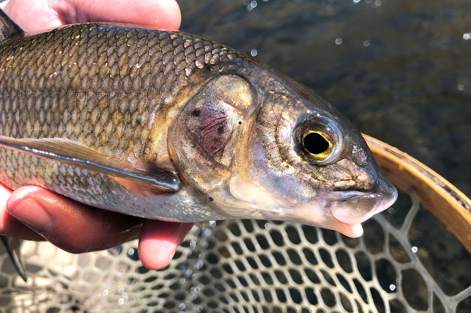 White fish