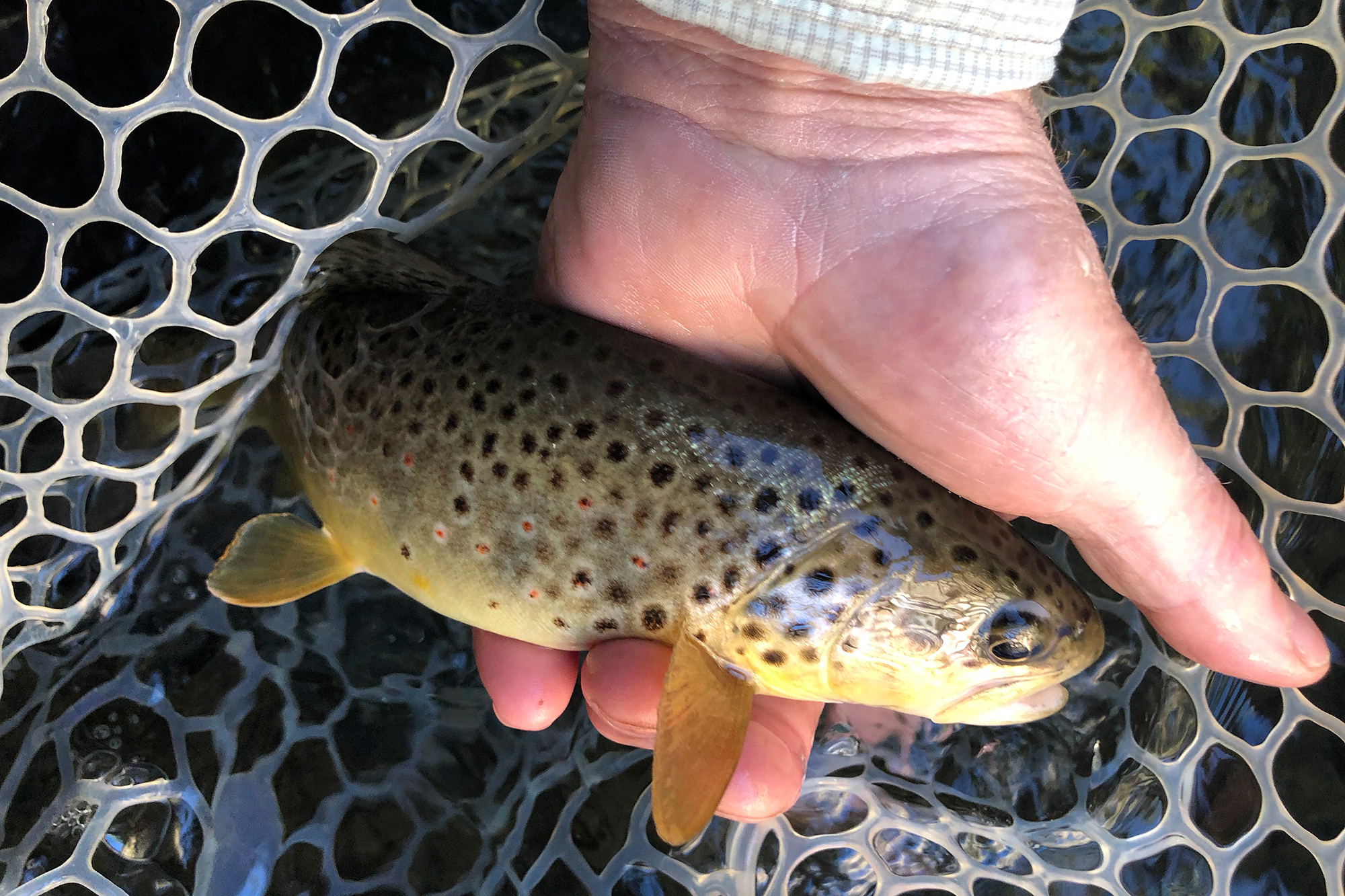 Brown trout in the logan river