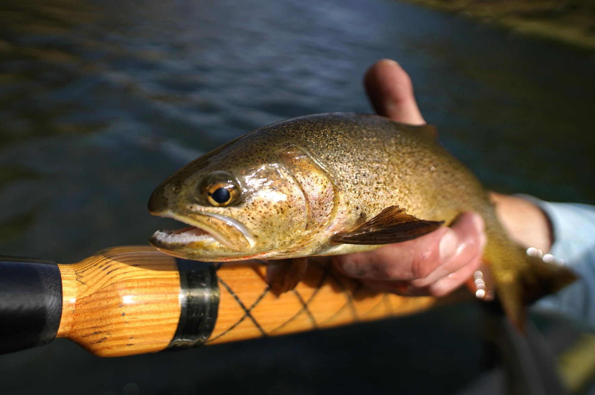 Teton river cutthroat
